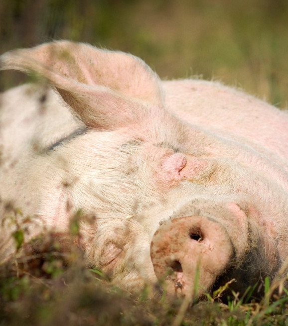 Everything You Need To Know About Pigs