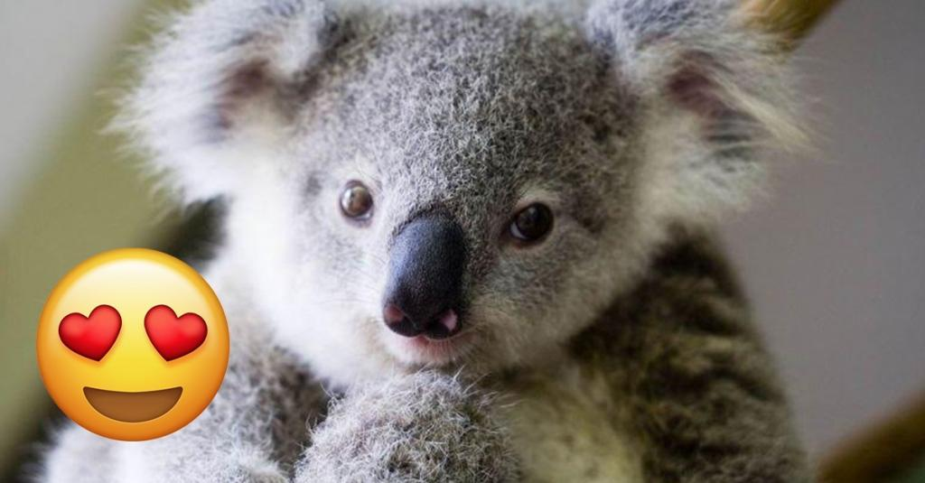 I Am Offiically In Love With These Cute Koalas