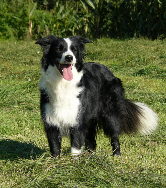 Border Collie: what you need to know about the most intelligent breed of dog