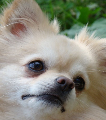 Everything There Is To Know About The Pomeranian
