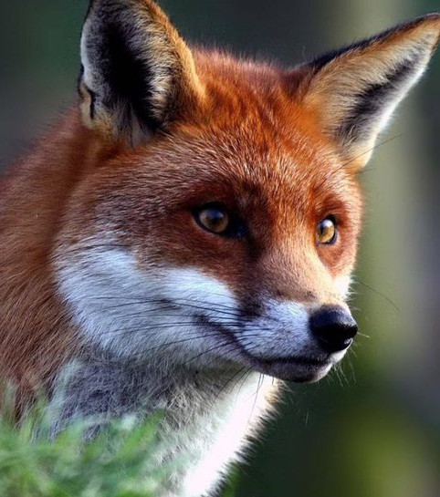 Everything You Need To Know About Foxes