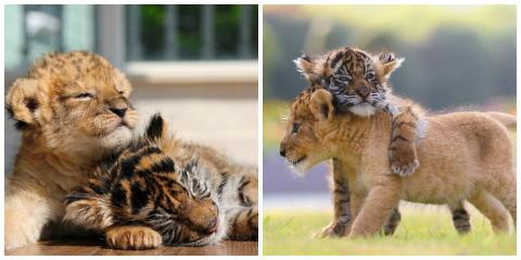 This Baby Tiger And Lion Cub's Friendship Has Melted The Internet's Hearts