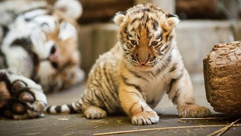 This Baby Tiger Was Abandoned In A Bag On The Mexican Border
