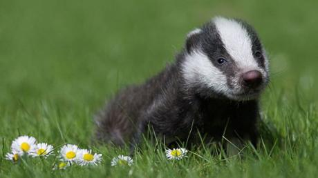 It's Baby Badger Season - And They're The Cutest Things You'll Ever See