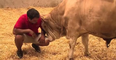 This bull's reaction to freedom will melt your heart