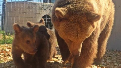 After Years In Captivity, These Two Bears And Their Cubs Go Outside For The First Time
