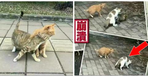 This Tomcat Has The Most Heartbreaking Reaction When He Sees His 'Girlfriend' Cheating On Him