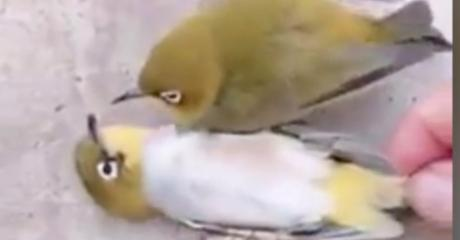 When He Saw His Mate Had Died, This Canary Had A Heartbreaking Reaction