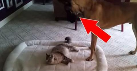 This Cat Steals The Dog's Bed - And She Never Expected Him To React Like This