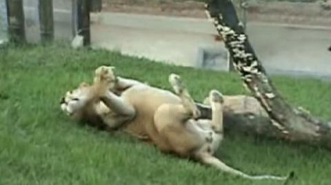 This Lion's Reaction To Freedom May Be The Most Beautiful Thing We've Ever Seen