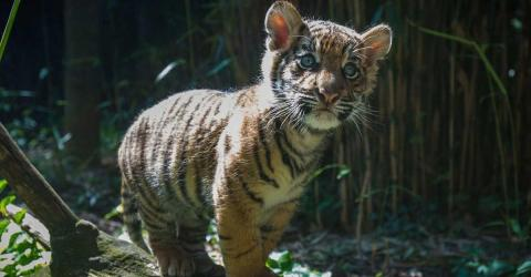 This Poor Tiger Cub Was Rejected By His Own Mother For A Heartbreaking Reason