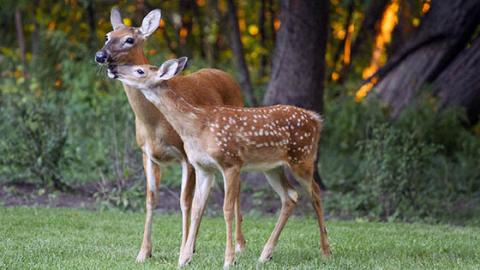 The Power Of A Mother's Love: When Her Baby Was Threatened, This Deer Did Something Incredible