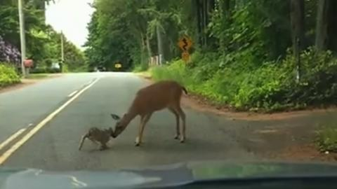This Terrified Deer Was Caught In The Headlights... Until Her Mother Did Something Amazing
