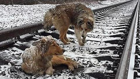 This Dog Protects Its Friend Who's Stuck On Train Tracks