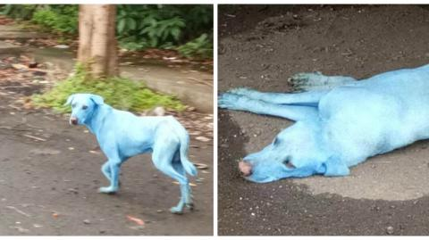In Mumbai, Blue Dogs Started To Appear On The Streets - And The Reason Behind It Was Shocking