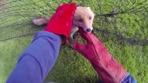 This Baby Fox Became Tangled In A Tennis Net... What Happened Next Was Beautiful