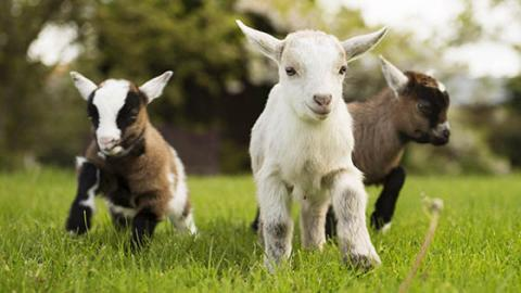 Here Are Three Good Reasons Goats Make The Best Pets