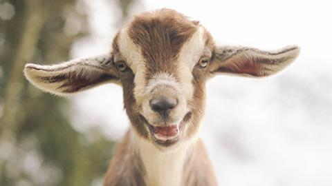 According to a Very Serious Study, Goats Prefer This Particular Kind of Person