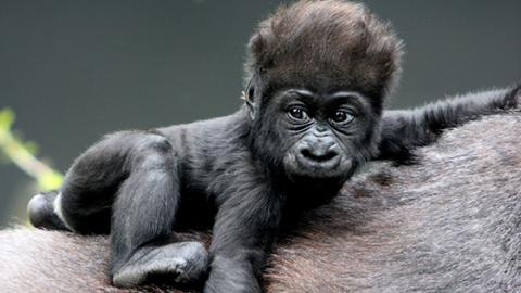 National Park Keepers Rejoice As Two Endangered Gorillas Are Born In The Democratic Republic Of Congo