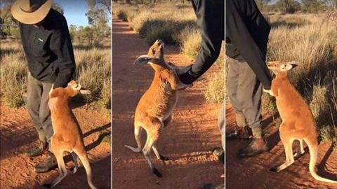 This Baby Kangaroo Refuses To Leave His Caregiver And It's Adorable