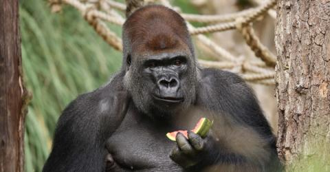 Kumbuka The Gorilla Escaped From London Zoo. His First Reaction?