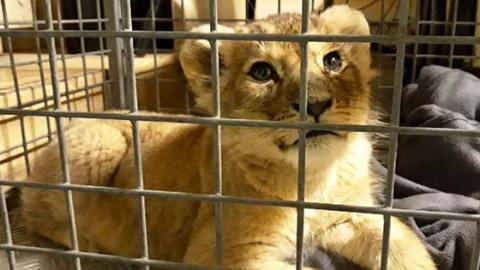 This Lion Cub Was Rescued From A Very Unexpected Place