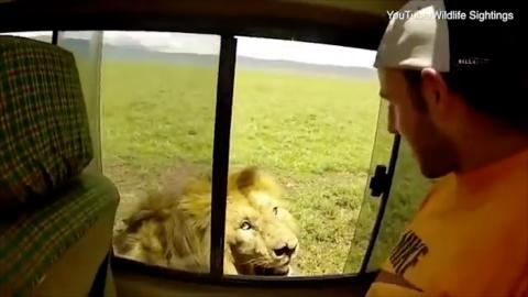 Thrillseeker Or Idiot? Daring Tourist Tries To Stroke Lion Whilst On A Safari