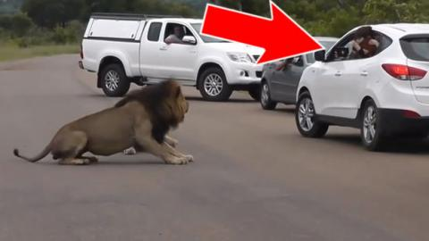 These Tourists Got A Little Too Curious... So This Lion Taught Them A Lesson