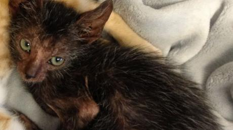 """This Stray Cat Has Given Birth To An Incredible Baby """"Were-Cat"""""""