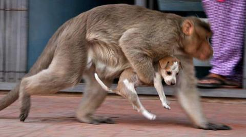 This Monkey Found A Puppy On The Streets Of India, What Happened Next Will Melt Your Heart