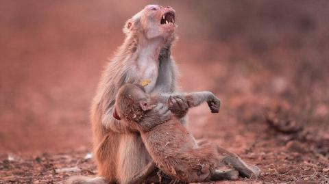 This Tragic Photo Of A Mother Monkey Crying Over Her Lifeless Baby Went Viral - But There's More To It Than Meets The Eye...