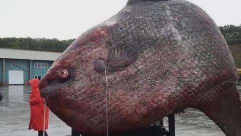 This Could Be The Biggest Fish Ever Caught!