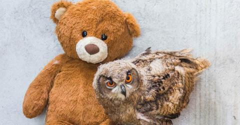 Meet Boo Boo: The Owl Who Will Never Be Able To Fly