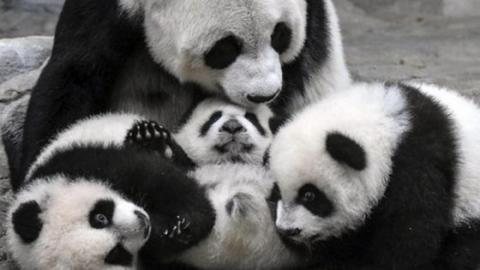 These Baby Pandas Are Meeting Their Mum For The First Time... And It's Magical