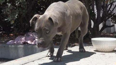 They Rescued This Stray Pitbull... But No One Was Expecting This Reaction