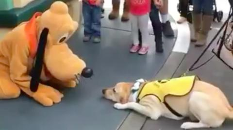 This Guide Dog Met Pluto At Disneyland, What Happened Next Is Adorable!