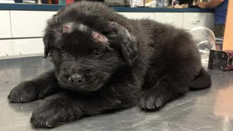 This Puppy Was Attacked By Children Who Hit Him With 18 Lead Bullets