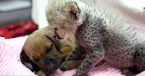 This Puppy And Cheetah Grew Up Together, Two Years Later Can They Still Be Friends?