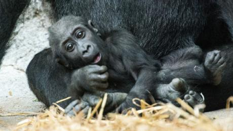 This Baby Gorilla Tries To Be Scary - And It's Adorable...