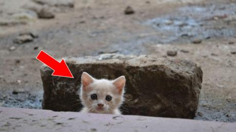 This Adorable Kitten Has Transformed Into A Magnificent Little Red Lion