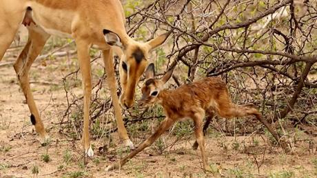 This African Gazelle's First Steps Will Melt Your Heart