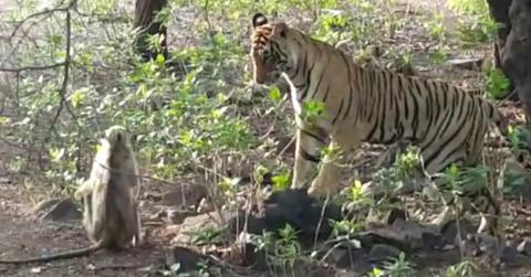 Onlookers Were Dismayed As The Monkey Approached The Tiger But What Happened Next Shocked Them All