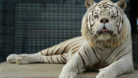 The Sad Truth About This Beautiful Tiger Who 'Shouldn't Exist'