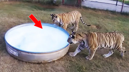 He Rescued These Two Tigers But When He Gave Them A Bubble Bath They Reacted In A Seriously Unexpected Way
