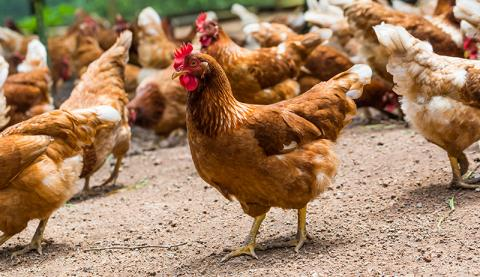 This Woman Creates Clothes For Her Chickens And They Are Ravishing