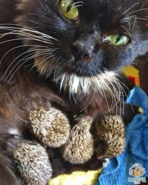 Friendly Cat Adopts 8 Orphaned Baby Hedge Hogs