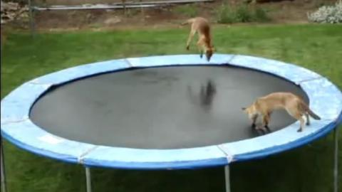 These Foxes Are Having The Time Of Their Lives Bouncing On A Trampoline