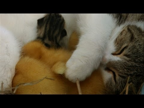 Watch As This Mama Cat Protects And Nurses Her Adopted Ducklings
