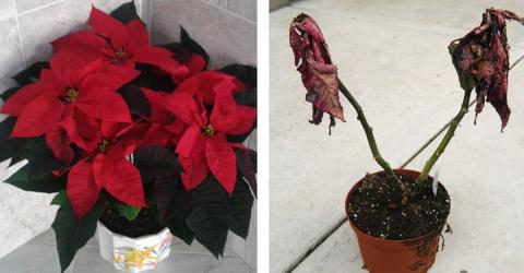How To Make Your Poinsettia Last Longer After The Holidays