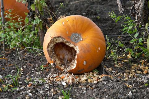Who Did They Find Munching On Their Halloween Pumpkin?